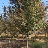 10公分海棠树价格 10公分海棠多少钱一颗