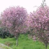 西府海棠多少钱一棵 5公分8公分西府海棠树价格