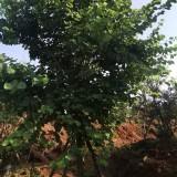 丛生风铃木 漳州丛生风铃木基地批发 黄花风铃木种植供应