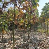 青桐树苗价格 江苏青桐树苗种植基地