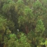25公分水松价格 水松基地批发 30公分水松多少钱一棵