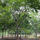 20公分朴树价格是多少 18-19-20公分朴树价格表