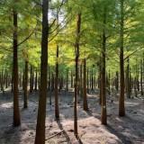 浙江池杉价格 5公分6公分7公分8公分池杉价格