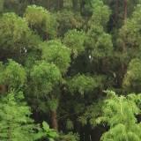 广东水松价格 水松种植基地