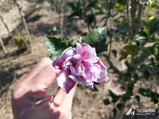 木槿苗多少钱一棵 5公分6公分木槿澳门银河价格