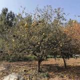 木瓜海棠多少钱一颗 6-8-10公分木瓜海棠价格