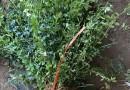 1.2米红花继木球