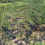 哪里有卖合欢树小苗的 江苏合欢树小苗基地批发