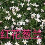 白花 红花葱兰袋苗基地批发    红花白花葱兰袋苗地苗供应报价