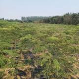 合欢树小苗多少钱一颗 1米1.5米2米合欢树小苗价格