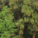 水松基地批发  25公分水松价格 30公分水松价格