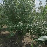 榆叶梅树苗多少钱一棵 6公分8公分榆叶梅价格