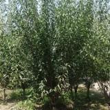 哪里有卖红梅树苗的 江苏红梅树苗基地批发价格