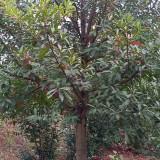 湖南杜英树苗批发出售 杜英树苗12公分价格