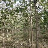 高朗梓树基地精品梓树4公分,7公分,8公分优质梓树