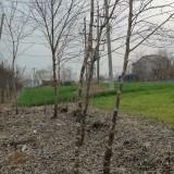 4公分构树价格 5公分构树多少钱一棵