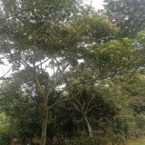8-10公分合欢价格 江苏合欢树种植基地批发