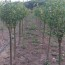 丁香树苗一棵价格 批发 丁香苗哪里买