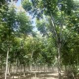 5-12公分复叶槭价格 精品大型复叶槭基地供应