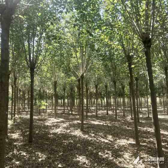 12公分白蜡树价格 河南优质白蜡批发价格