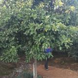 湖南香泡树供应基地 15公分20公分香泡树多少钱一棵