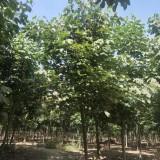 10公分青桐树价格 青铜树苗多少钱一棵