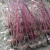 1米高红瑞木价格  江苏红瑞木苗哪里有卖