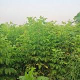 复叶槭批发价格   绿化苗木复叶槭