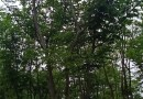 丛生朴树价格多少钱一棵 7米丛生朴树价格