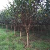 紫薇树多少钱一颗 湖南基地10公分12公分紫薇树苗
