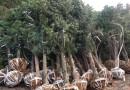 2米高罗汉松盆景多少钱一棵