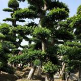 30公分造型榆树基地 造型榆树盆景批发报价