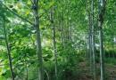 8公分法国梧桐价格 法国梧桐大树价格