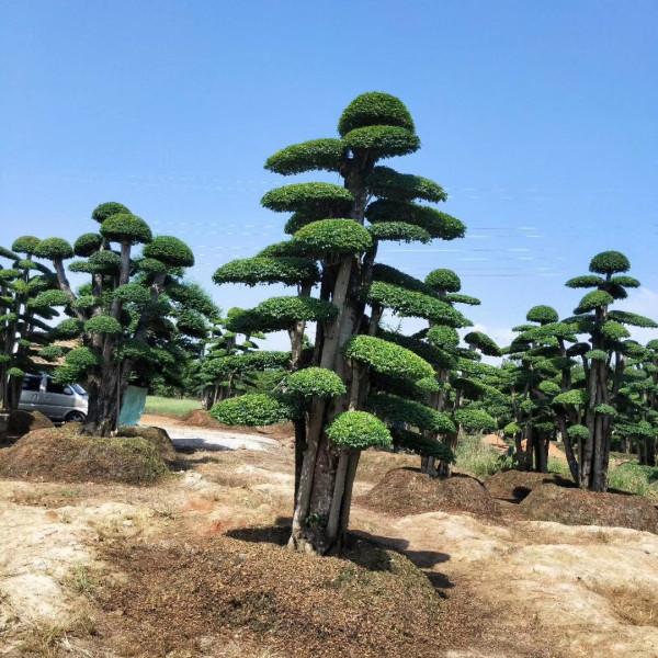 30公分造型小叶女贞价格 基地批发小叶女贞盆景造型树