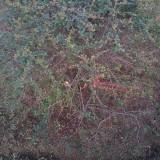 火棘球1米5冠价格多少 优质火棘球种植基地直销