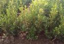 瓜子黄杨小苗多少钱一棵 20公分瓜子黄杨价格