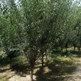 红梅树价格 6公分红梅价格多少钱一株