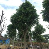 人面子基地批发  人面子树多少钱一棵