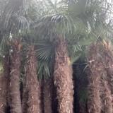 棕榈树批发价格多少钱一棵 1米5棕榈树价格