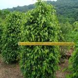 垂叶榕苗价格 垂叶榕袋苗批发 福建垂叶榕小苗基地
