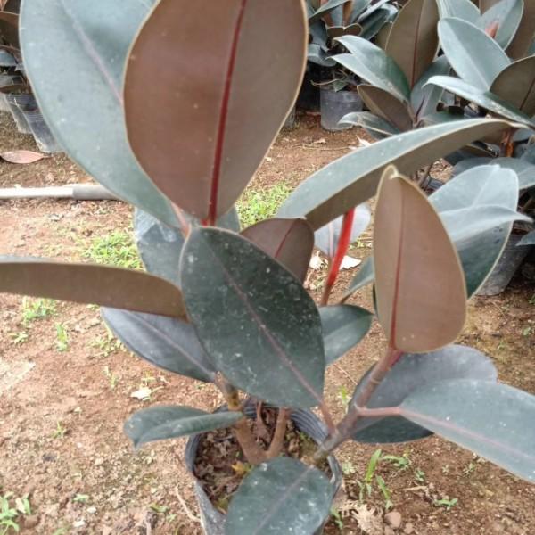 福建黑金刚 印度榕袋苗 橡皮树大量批发