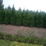 江苏蜀桧种植基地 2米蜀桧价格