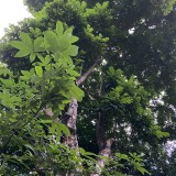 人面子树一棵 15年苗龄人面子树