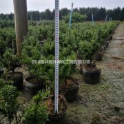 成都曼地亚红豆杉价格 曼地亚红豆杉多少钱一棵