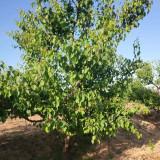 哪有山杏树苗 15公分山杏树价格