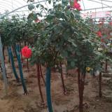 5公分树桩月季什么价格 沭阳树桩月季基地供应直销