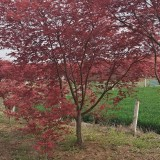 五公分日本红枫价格 日本红枫批发报价