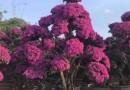 2米福建叶子花价格 勒杜鹃盆景 九重葛袋苗