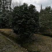 美人茶树苗种植基地   美人茶批发价格