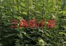 10公分红榉树批发报价 江苏红榉树种植基地